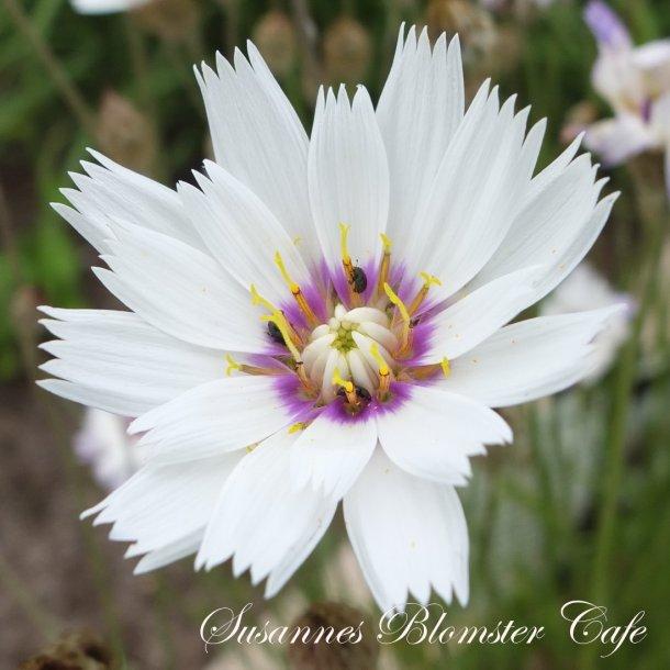 Catananche caerulea - Rasleblomst - Hvid - frø