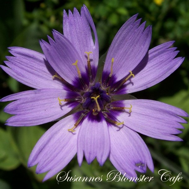 Catananche caerulea - Rasleblomst - Blå - frø