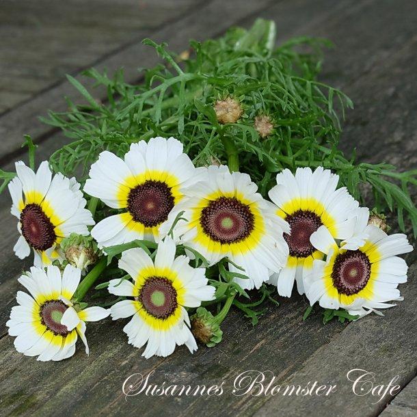 Chrysanthemum carinatum- Polar Star - Frø