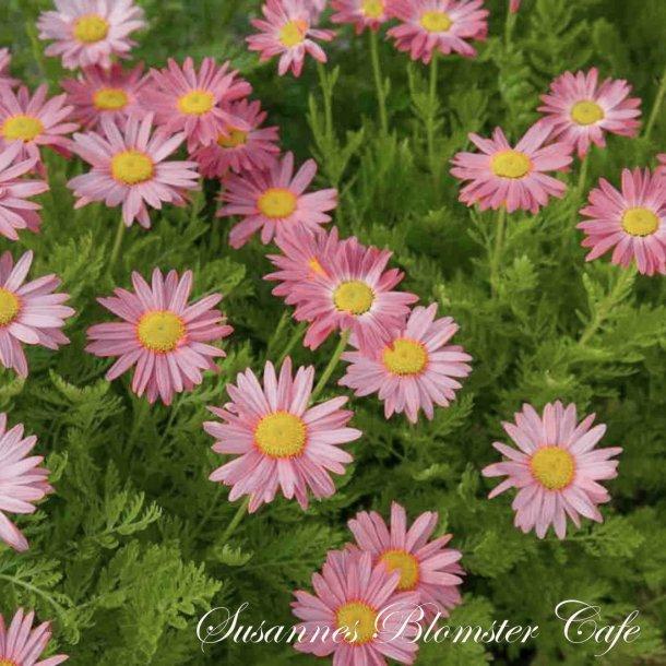 Chrysanthemum coccineum - Rosenkrave - Frø