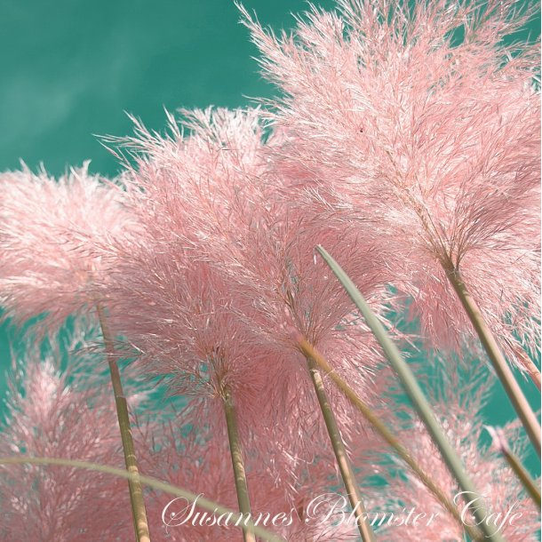 Cortaderia - Pink Feather - Pampas græss