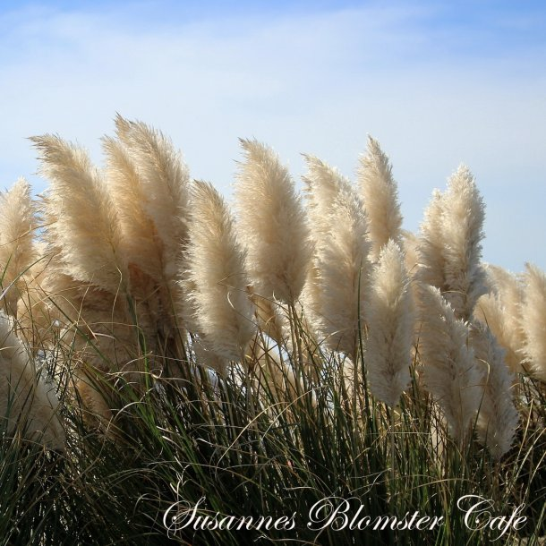Cortaderia - White Feather - Pampas græss