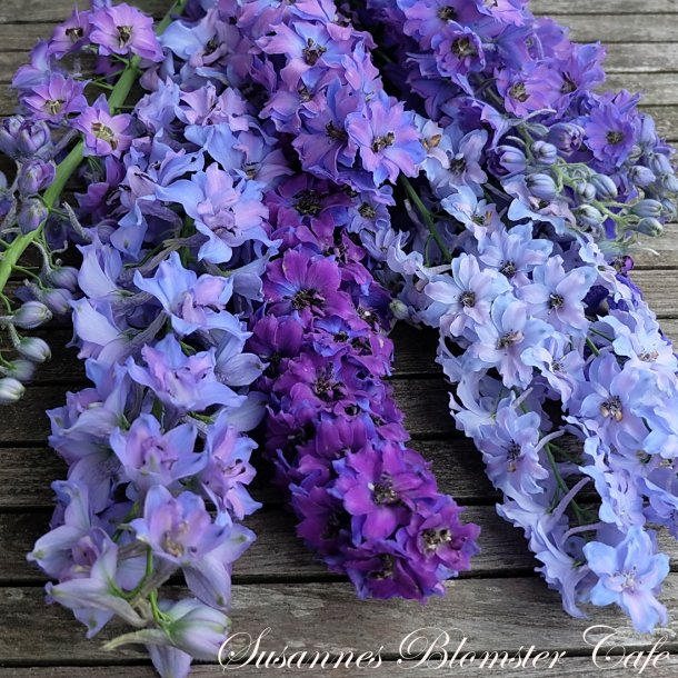 Delphinium mix -Summer Blues -  Riddersporer - frø