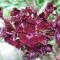Dianthus barbatus 'Sooty' - Studenternellike - frø