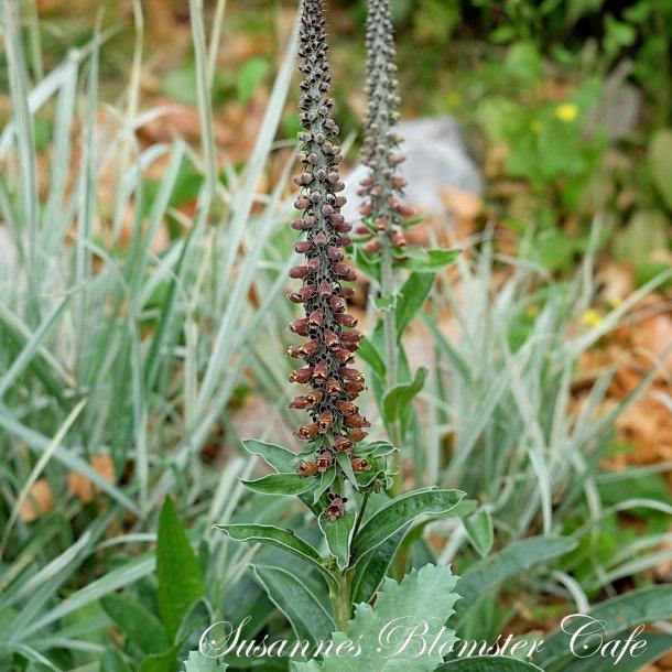 Digitalis parviflora Chocolate - frø