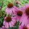 Echinacea purpurea - Solhat - frø