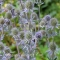 Eryngium planum - Russisk Manstro - frø