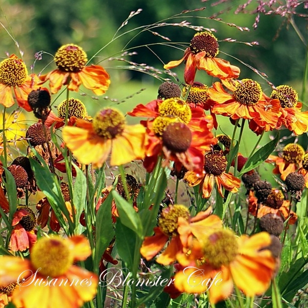 Helenium autumnale Red and Gold - Solbrud - frø
