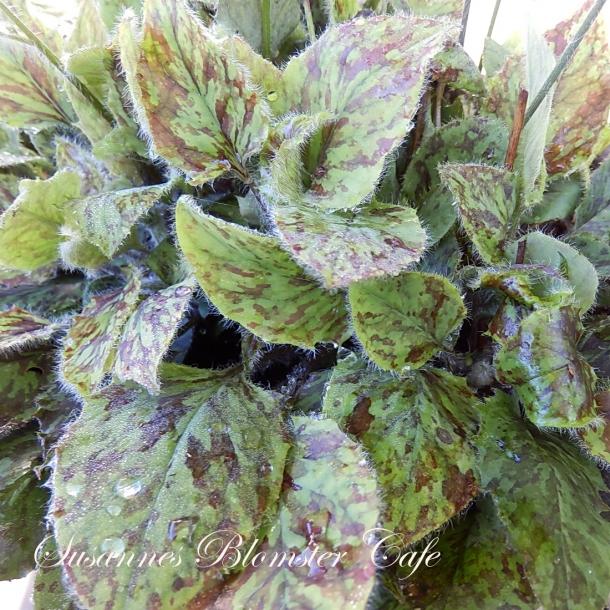 Hieracium maculatum - Chocolate Dip - frø