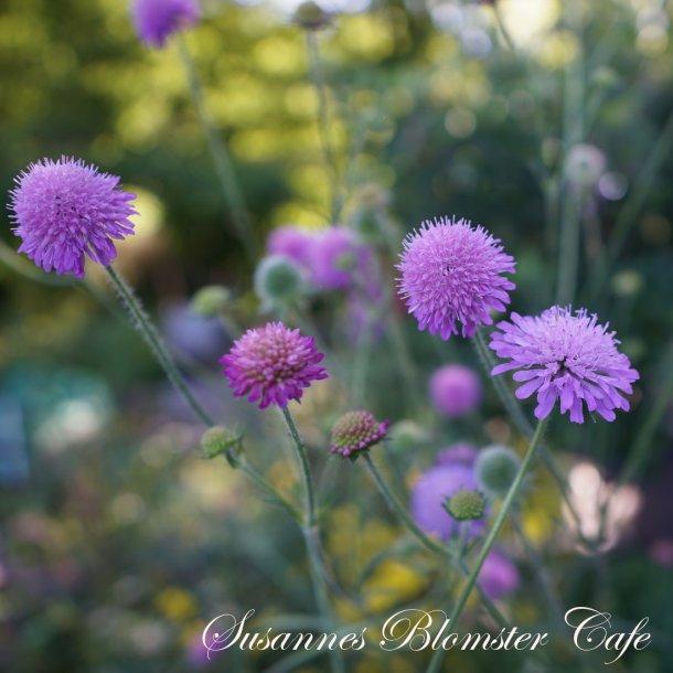 Knautia marcedonica 'Melton Pastels' - frø