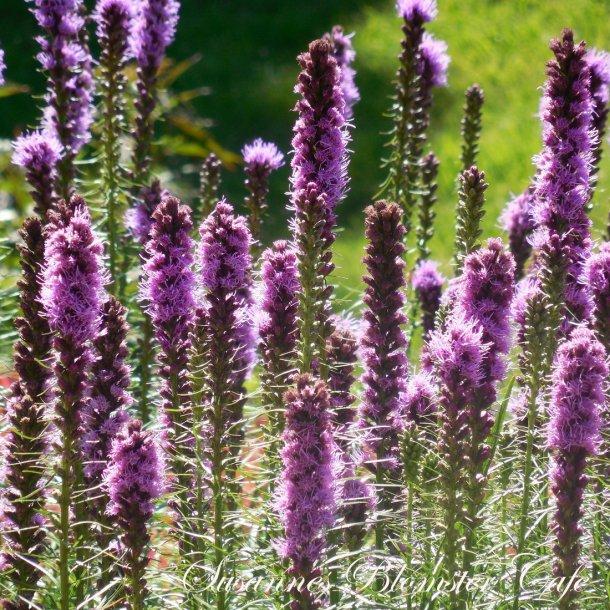 Liatris Floristan  - Violet - frø