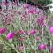 Lychnis coronaria 'Rose Campion' - Haveklinte - frø
