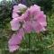 Sidalcea malviflora Partygirl - Silkekatost - frø