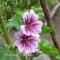 Malva sylvestris 'Zebrina' -  Katost - frø
