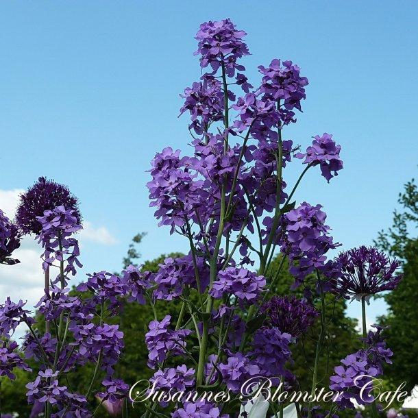 Hesperis matronalis - Purple - Natviol - frø