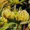 Phlomis russeliana - Løvehale  frø.