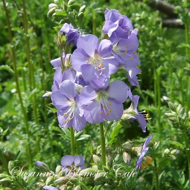 Polemonium caeruleum-blå Jakobsstige - frø