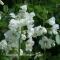 Polemonium caeruleum-hvid Jakobsstige - frø