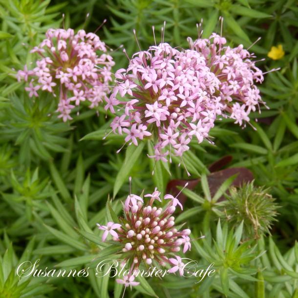 Phuopsis stylosa - Rosenskovmærke - frø