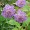 Scabiosa colombaria 'Butterfly Blue'- frø