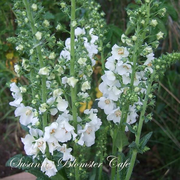 Verbascum phoenicum Flush of White - frø