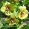 Verbascum chaixii - Kongelys - frø