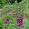 Verbascum phoenicum Violetta - frø.