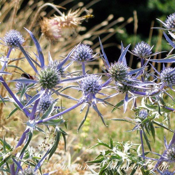 Eryngium planum - Blue Glitter - frø