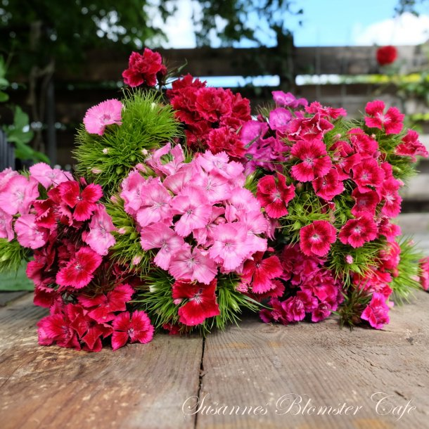 Dianthus barbatus - Sweet William mix - Studenternellike - frø