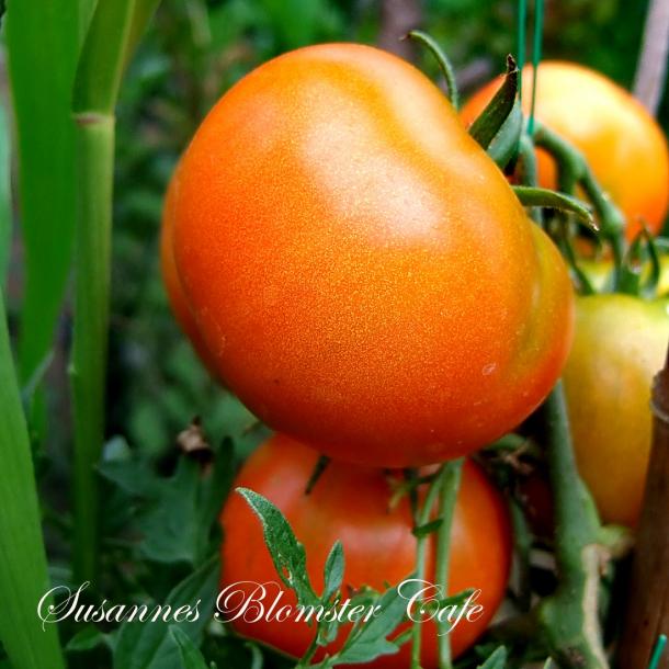 Tomat - busk tomat Silvery Fire Tree - frø