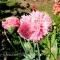 Papaver somniferum laciniatum - Pink Bombast - frø