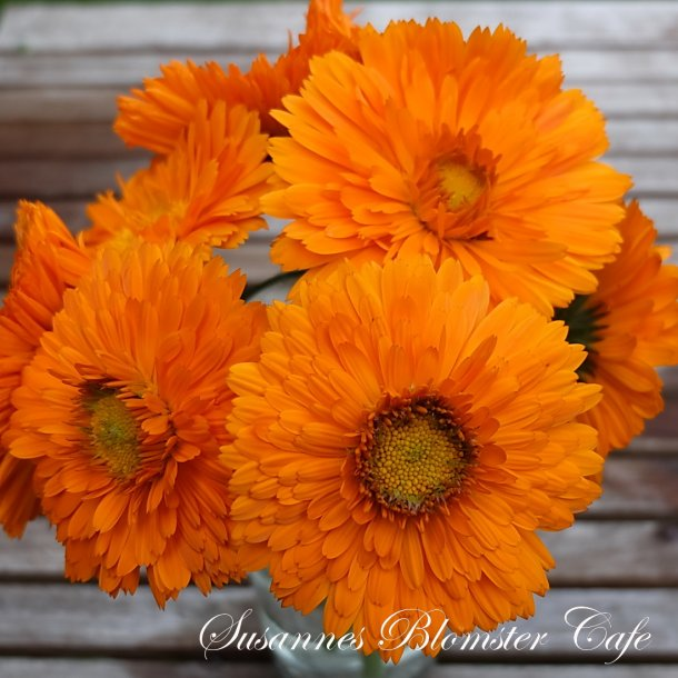 Calendula officinalis 'Greenheart Orange' - Morgenfrue frø