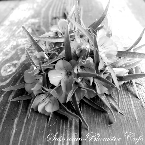 Agrostemma githago. Bianca - frø