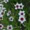 Linum grandiflorum 'Bright Eyes' - Hørblomster - frø