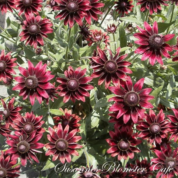 Rudbeckia hirta - Cherry Brandy - Håret Solhat - frø