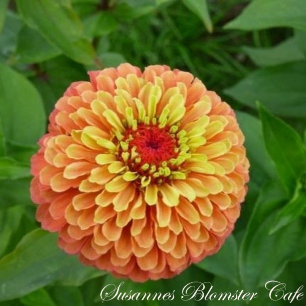 Zinnia elegans Queen Lime Orange - Frøkenhat - frø